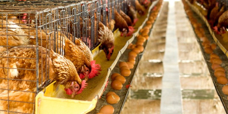 Trudeau government enforces price-gouging for chicken and eggs